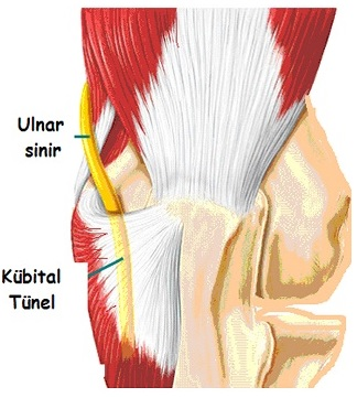 The back of the elbow - ulnar nerve anatomy
